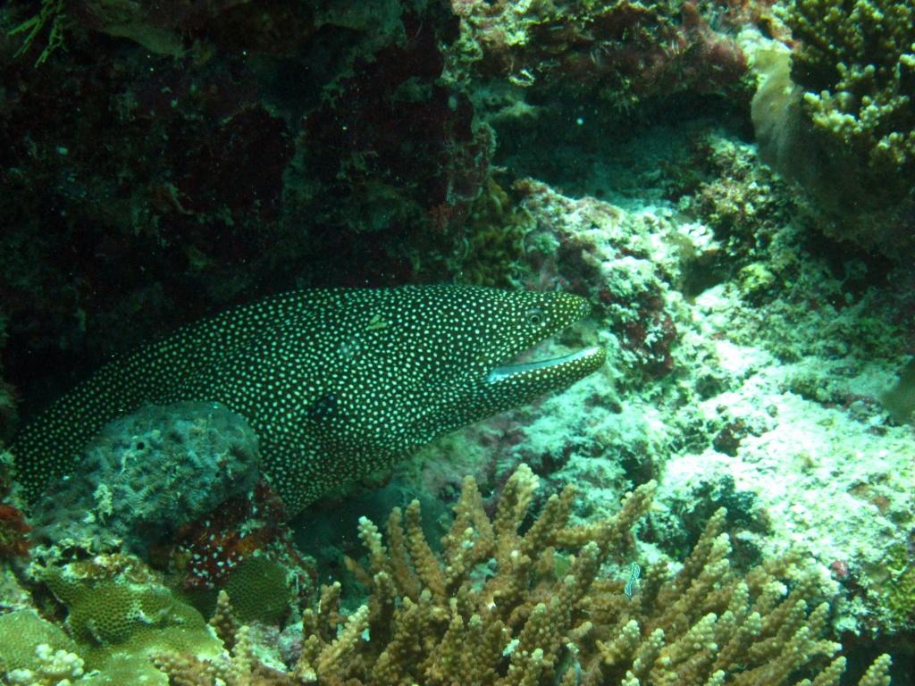 Diva Maldives #7 ウツボ多めなBack Reef