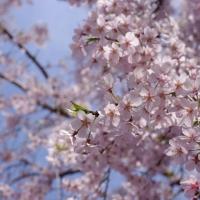 浜松町の桜の名所を巡ってきました