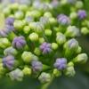 紫陽花のつぼみ