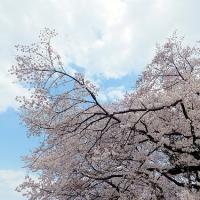 善福寺川沿いの桜は今が満開です