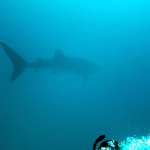 Diva Maldives #4 First Contact whale shark