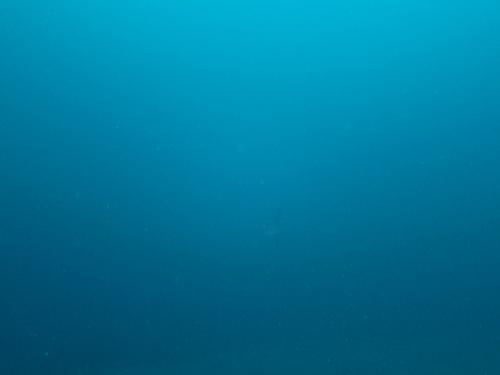 100本目の記念ダイビングは大瀬崎でマンボウ狙い