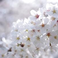 阿佐ヶ谷住宅の満開の桜