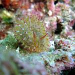 春の沖縄でウミウシ満載ダイビング #5