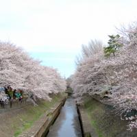 隠れた桜の名所、善福寺川緑地の桜が満開です