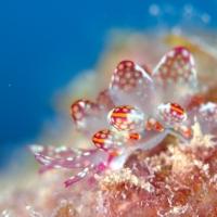 春の沖縄、ウミウシ満載ダイビング #1 ホーシュー