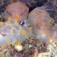 春の沖縄、ウミウシ満載ダイビング #6 ホーシュー2