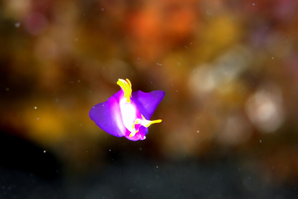 大瀬崎の外海でムラサキウミコチョウのフライングゲット