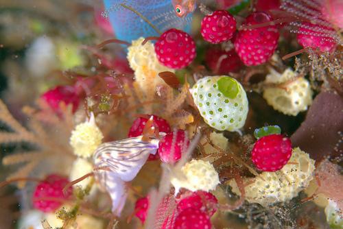バリ・トランバン #11 見たウミウシの種類は・・