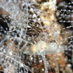 オキウミウシ属の一種