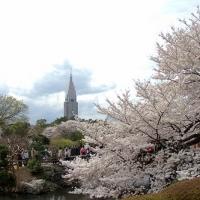 新宿御苑の桜も満開