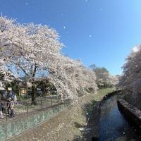 善福寺緑地の桜吹雪、2014