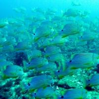 コモド クルーズ #19 Castle Rock の深場でイレズミフエダイの大きな群れ