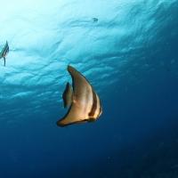 水中ワイドの講習を受けに八丈島へ #5 ツバメウオの群れ