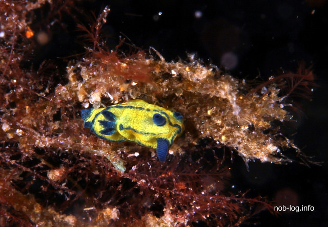 大瀬崎で寒中水泳 #3 オセザキリュウグウウミウシ