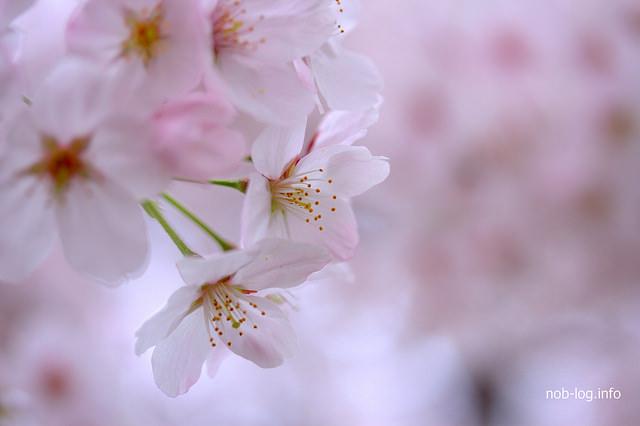 桜満開の善福寺川緑地、2015