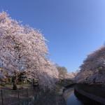 桜満開の善福寺川緑地、2015 その2