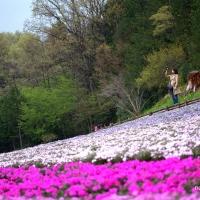 秩父 羊山公園の芝桜を見てきた
