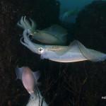 梅雨の八丈島で水中写真を学んできた #3 アオリイカの産卵