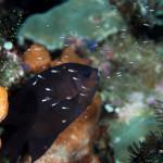 世界遺産・コモドの海 #18 PINK BEACH で子育てするスズメダイ