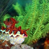 世界遺産・コモドの海 #13 ウミウシのペアたくさんな CARNIVAL ROCK