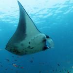 世界遺産・コモドの海 #22 Mantap! MANTA FARM