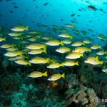 ラジャアンパットクルーズ #15 黄色い魚の巨大な群れ