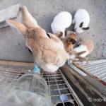 浅間牧場茶屋のウサギ