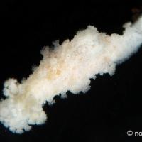 八丈島でウミウシまみれになってきた #3 センニンウミウシ