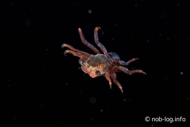 八丈島でウミウシまみれになってきた #7 Hot ke Night で メガロパ