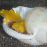 大瀬崎でウミウシと幼魚をみてきた #3 ミジンベニハゼ