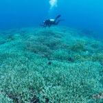 「奇跡の海」ラジャアンパット #8 ラジャアンパット最大のサンゴ