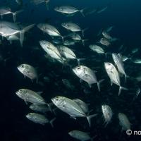 「奇跡の海」ラジャアンパット #3 ギンガメアジ