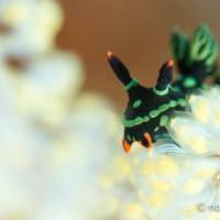 「奇跡の海」ラジャアンパット #9 アカフチリュウグウウミウシ