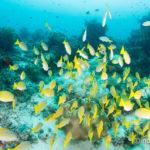 「奇跡の海」ラジャアンパット #18 ロウニンアジの捕食