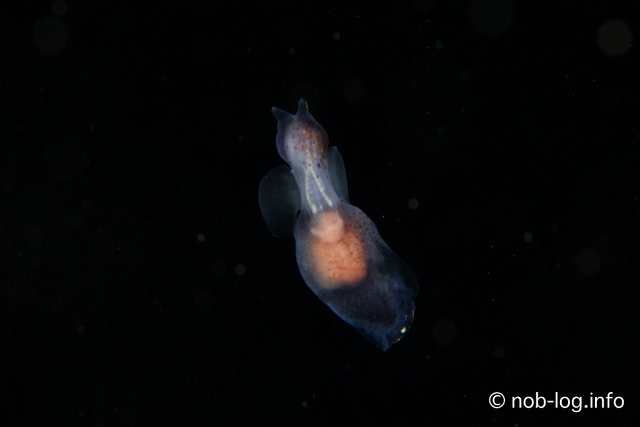 「奇跡の海」ラジャアンパット #20 イクオハダカカメガイ